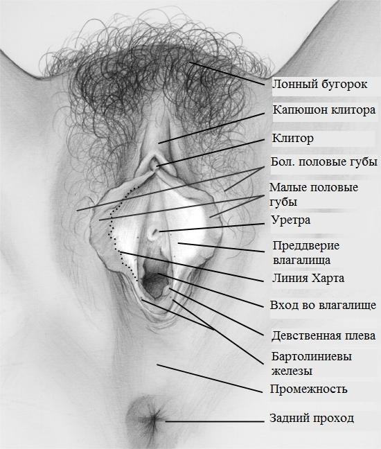 К органов близкое мочевому секс пузырю половых расположение